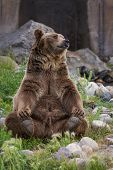 picture of rear-end  - adult male grizzly bear sitting on his rear end reaching for his rear feet - JPG
