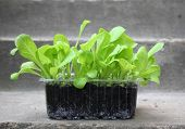 foto of endive  - Green endive lettuce plant seedlings ready to plant in garden - JPG