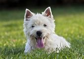picture of westie  - Cute West Highland White Terrier puppy looking in the grass - JPG