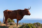 picture of sea cow  - cow with horns on hill in andalusia - JPG