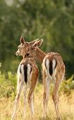 image of deer family  - fallow deer  - JPG
