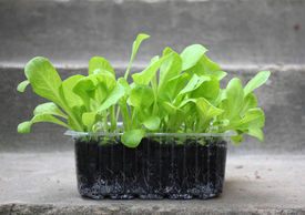 pic of endive  - Green endive lettuce plant seedlings ready to plant in garden - JPG