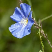 pic of flax plant  - Macro image of blue wild flax flower - JPG