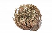 Picture of rose of jericho, selaginella lepidophylla on white background.