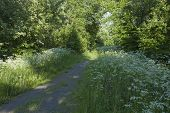 image of greenery  - Jogging tracks surrounded of Anthriscus sylvestris - JPG