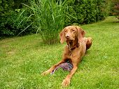 picture of vizsla  - The Hungarian Vizsla is commanded to lie down and stay - JPG