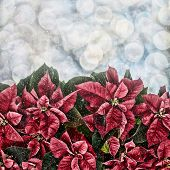 stock photo of poinsettia  - Snowflakes falling on Poinsettia plants with bokeh lights in the background - JPG