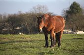 picture of shire horse  - Big and heavy plow horse standing on a meadow - JPG