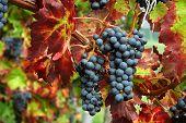 image of grape-vine  - in autumn colors - JPG