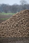 picture of sugar industry  - Pile of harvested sugar beets lying on a field in Germany - JPG