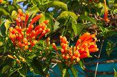 stock photo of trumpet flower  - Pyrostegia venusta or Orange trumpet flower hanging on vine - JPG