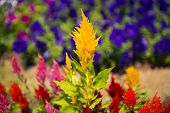 stock photo of celosia  - Cockscomb flower  - JPG