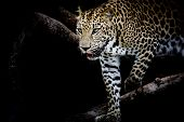 stock photo of black eyes  - Leopard portrait animal wildlife on black color background - JPG