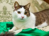 stock photo of domestic cat  - Domestic cat is lying on the coverlet of the bed - JPG