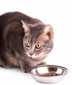 picture of blue tabby  - Blue tabby cat with bowl of food - JPG