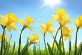 picture of yellow buds  - Yellow daffodil flower in the field - JPG