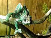 pic of chameleon  - A close - JPG