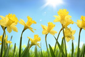 stock photo of yellow buds  - Yellow daffodil flower in the field - JPG
