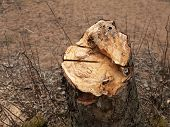 pic of alder-tree  - the felled  sawing an old alder stump - JPG