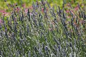 stock photo of lavender plant  - lavender plants swaying in the breeze close up - JPG
