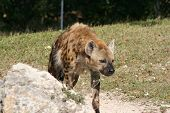 stock photo of hyenas  - a picture of a hyena walking around - JPG