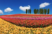 picture of buttercup  - Huge fields of garden buttercups  - JPG