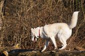 pic of siberian husky  - Purebred white siberian husky just a second before jump from a trunk into the forest - JPG