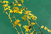 stock photo of thorns  - Plant with yellow leaves and thorns on the background of turquoise river - JPG
