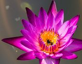stock photo of water bug  - Purple water lily with a bee in the center of yellow pollens - JPG