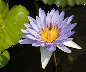 image of water bug  - Light purple and yellow water lily with be inside - JPG