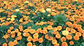 picture of marigold  - Lot of bright orange marigold flowers on a field - JPG