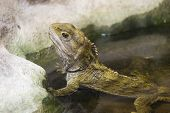 stock photo of tuatara  - a tuatara rests in a pool at the national aquarium of new zealand - JPG