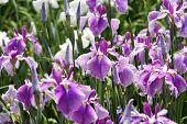 picture of purple iris  - closeup of purple iris flower on flower bed - JPG