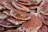 picture of scallops  - France scallops at the market of Le Touquet Paris Plage  - JPG