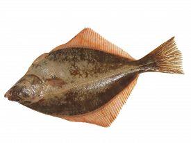 image of flounder  - big fish flounder on a white background - JPG