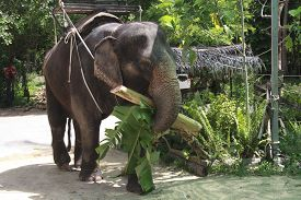 pic of south east asia  - Elephant waiting for tourists in south east asia - JPG