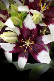 picture of asiatic lily  - Hybrid Asiatic lily that is often referred to as  - JPG