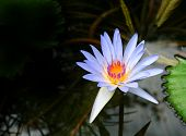 pic of water lily  - Pretty blue water lily on dark water background - JPG