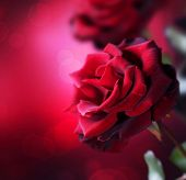 stock photo of purple rose  - Red Roses design - JPG