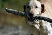 Happy Labrador Dog With Wooden Stick poster