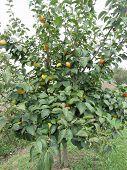 Persimmon Tree With Sweet Kaki Fruits . Tuscany, Italy poster
