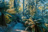 Empty Footpath Among Ferns And Eucalyptus Trees. Australian Nature poster