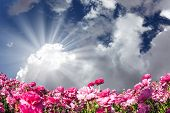 The sun shines through the clouds. Adorable pink garden buttercups - ranunculus bloom on a farm fiel poster