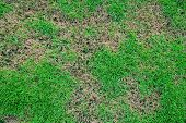 Grass Texture. Grass Background. Patchy Grass, Lawn In Bad Condition And Need Maintaining poster