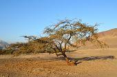 Постер, плакат: Одинокое дерево в пустыне с гор