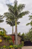 View Of Two Palm Trees In A Garden In Nairobi City Kenya poster
