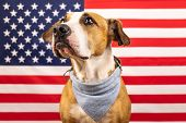 Usa Independence Day Concept, With American Staffordshire Terrier Dog And Stars And Stripes Flag In  poster