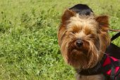 Animals,pets,dogs Concept.dog Outdoors,cropped Shot.yorkshire Terrier Over Green Grass Background.do poster