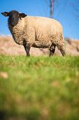 stock photo of suffolk sheep  - Suffolk black - JPG