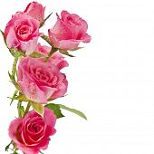 stock photo of pink roses  - Fresh pink roses border isolated on white background - JPG